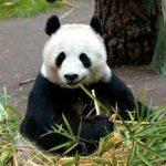 上野動物園シルバーウィーク2017混雑予想!赤ちゃんパンダは見れる?
